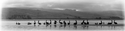 Pelicans on Tomales Bay